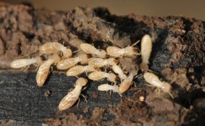 滅蟲服務 除白蟻