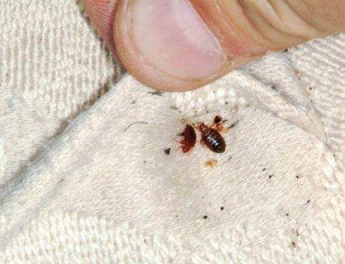 了解床蝨及預防床蝨方法